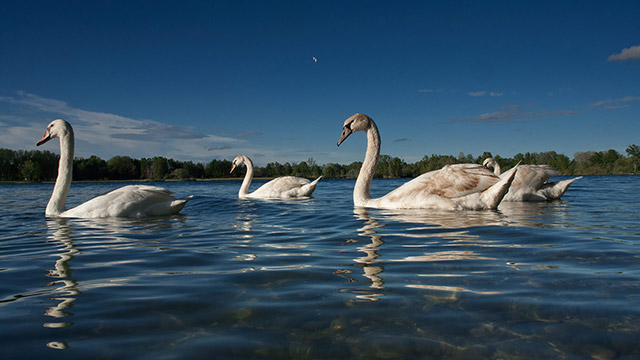 Swans on the Soderica lake in Croatian Podravina district