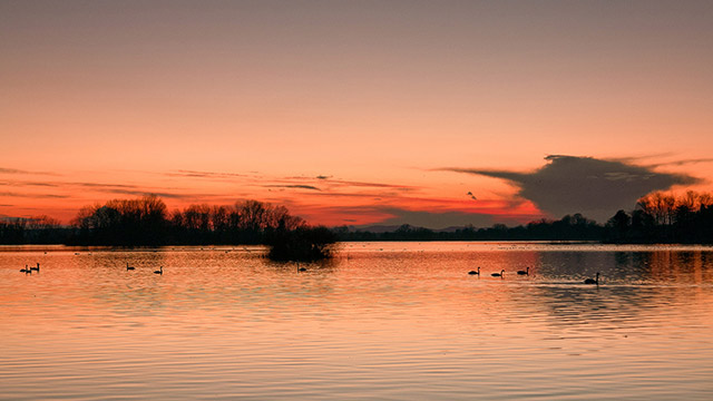 Swans under sunset on the Soderica lake in Croatian Podravina district