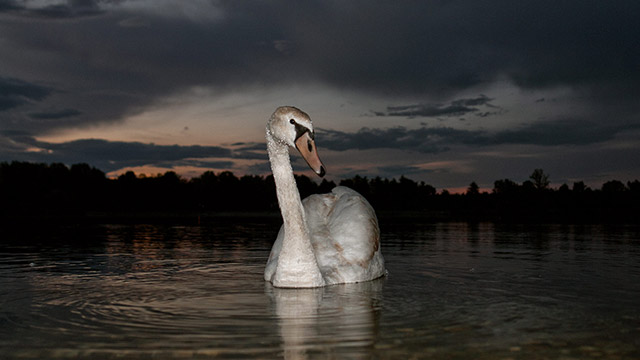 Swan on the Soderica lake in Croatian Podravina district