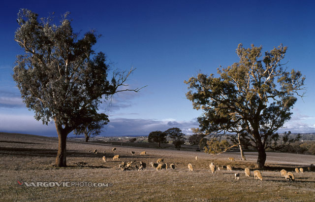 Just-Ordinary-Aussie-Afternoon_Australia_Victoria_Sheep_Down-Under_Oz_Vargovic-Photo