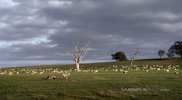 Something-Is-Late-On-The-Air_Australia_New-South-Wales_Sheep_Vargovicphoto