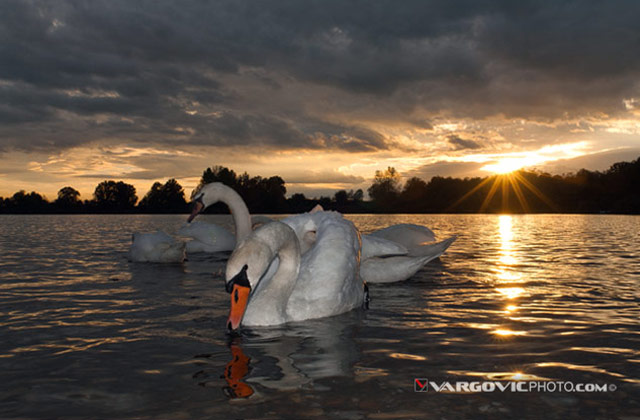 All-Those-Dreams_Swan_Soderica-Lake_Podravina_Vargovic-Photo_Croatia_By-Boris-Vargovic-Fine-Art-Photography