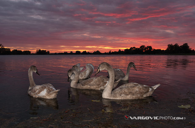 I-Met-Fairy-World_Swans_Labudovi_Soderica-Lake_Podravina_Croatia_By-Boris-Vargovic-Fine-Art-Photography