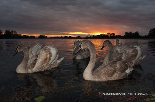 Scent-Of-Divine-Light_Swans_Labudovi_Soderica-Lake_Podravina_Croatia_By-Boris-Vargovic-Fine-Art-Photography