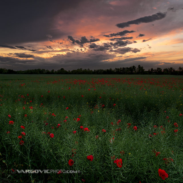 The-Day-When-Spring-Happened_Puppies_Puppy-Field_Sunset_Podravina_Croatia_By-Boris-Vargovic-Photo