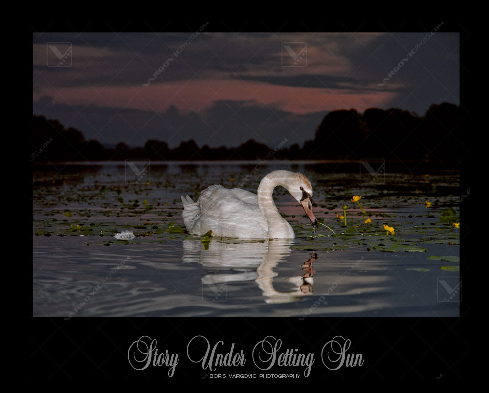 Swan on the Soderica lake sunset