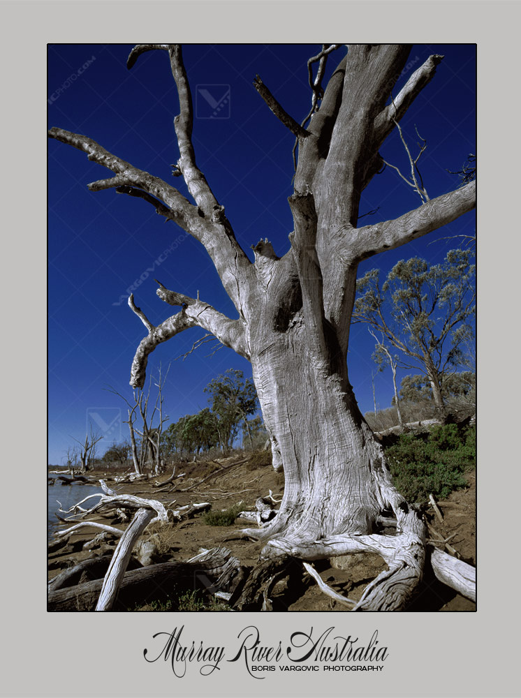 Old tree on Murray River near to Mildura in Australian state New south Wales by fine art photographer Boris Vargovic