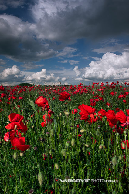 Some-Another-Spring-Day_Podravina_Croatia_Poppy_By-Boris-Vargovic-Fine-Art-Photography