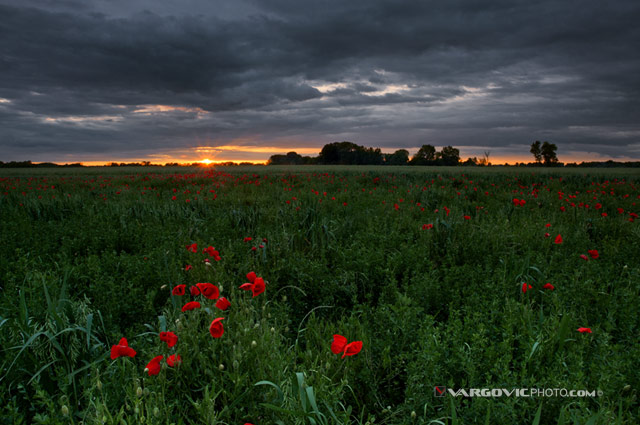 Spring-Wonderland_Podravina_Croatia_Poppy_By-Boris-Vargovic-Fine-Art-Photography