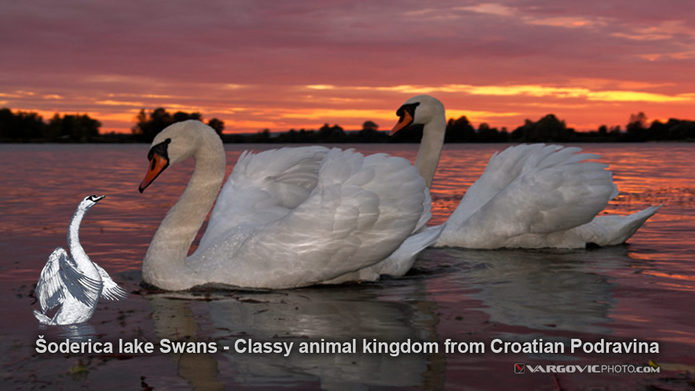 Swans on the Soderica lake Podravina / Croatia by Boris Vargovic - Fine Photography Artworks