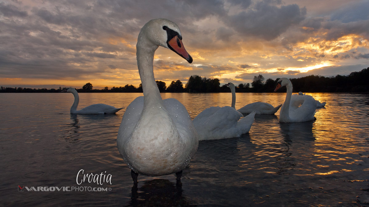 A Tale For You Swans Labudovi Soderica Lake Podravina Croatia By Boris Vargovic Fine Art Photography