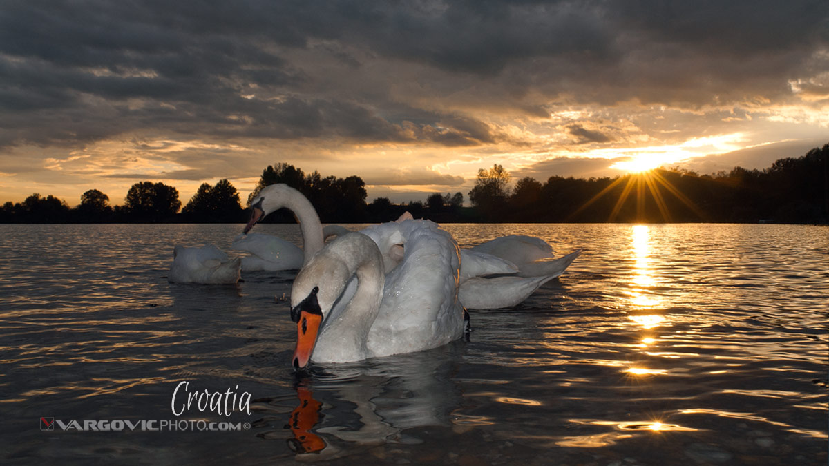 All Those Dreams Swan Soderica Lake Podravina Vargovic Photo Croatia By Boris Vargovic Fine Art Photography