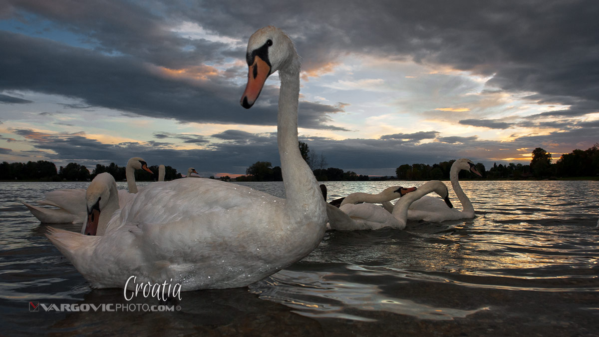 Anywhere But Here Swans Soderica Lake Podravina Croatia By Boris Vargovic Fine Art Photography
