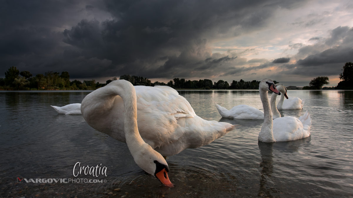 Charming Cloudy Story Swans Soderica Lake Podravina Vargovic Photo Croatia By Boris Vargovic Fine Art Photography