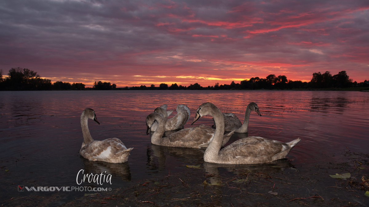 I Met Fairy World Swans Labudovi Soderica Lake Podravina Croatia By Boris Vargovic Fine Art Photography