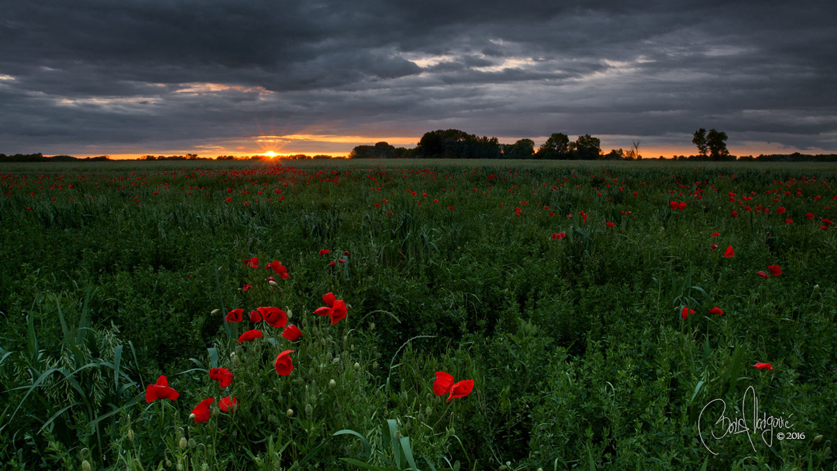 Makovi Poppies Soderica Sunset Podravina Croatia, Boris Vargovic Fine Art Photography