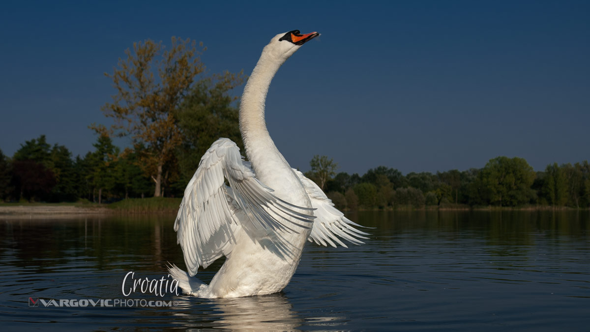 Mystic Dancer Alpha Swan Soderica Lake Podravina Croatia By Boris Vargovic Fine Art Photography