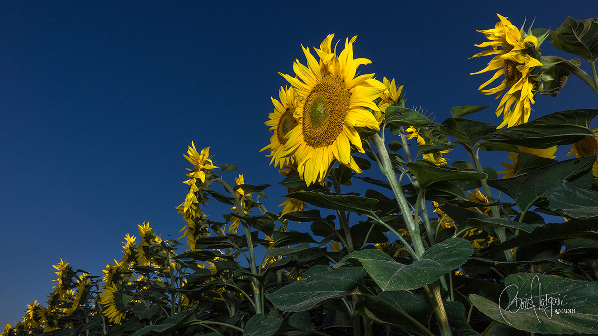 Podravina Suncokreti Sunflowers Croatia, Boris Vargovic Fine Art Photography