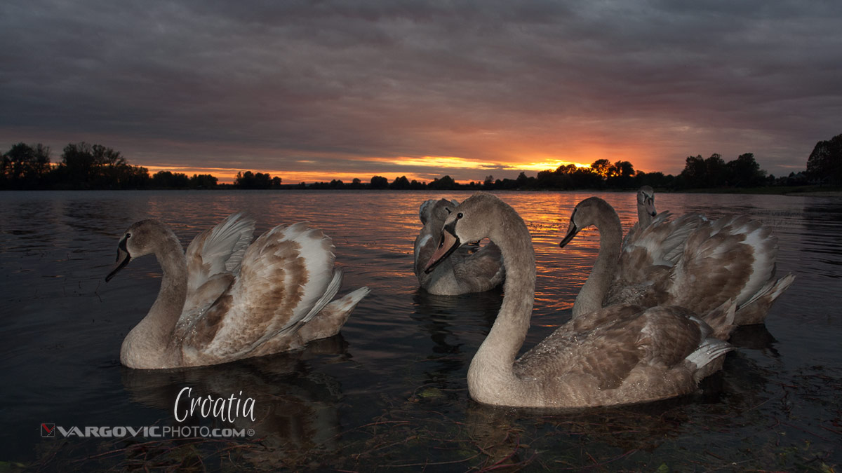 Scent Of Divine Light Swans Labudovi Soderica Lake Podravina Croatia By Boris Vargovic Fine Art Photography