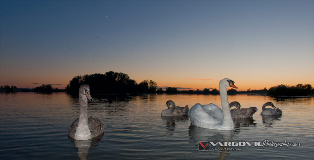 Soderica, Swan and sunset, White Swan, Podravina, Croatia, Koprivnica, Labudovi, Šoderica, Boris Vargovic Photography