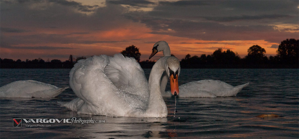 Šoderica, Swan and sunset, White Swan, Podravina, Croatia, Koprivnica, Labudovi, Šoderica, Boris Vargovic Photography