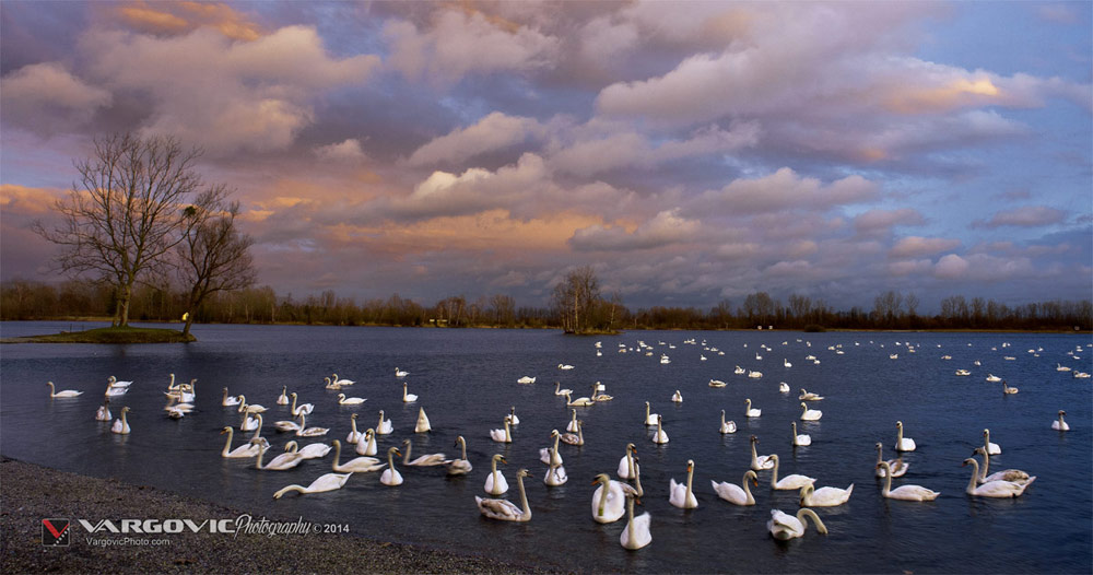 Šoderica u Podravini, Swan and sunset, White Swan, Podravina, Croatia, Koprivnica, Labudovi, Soderica Lake, buy print from Boris Vargovic Photography