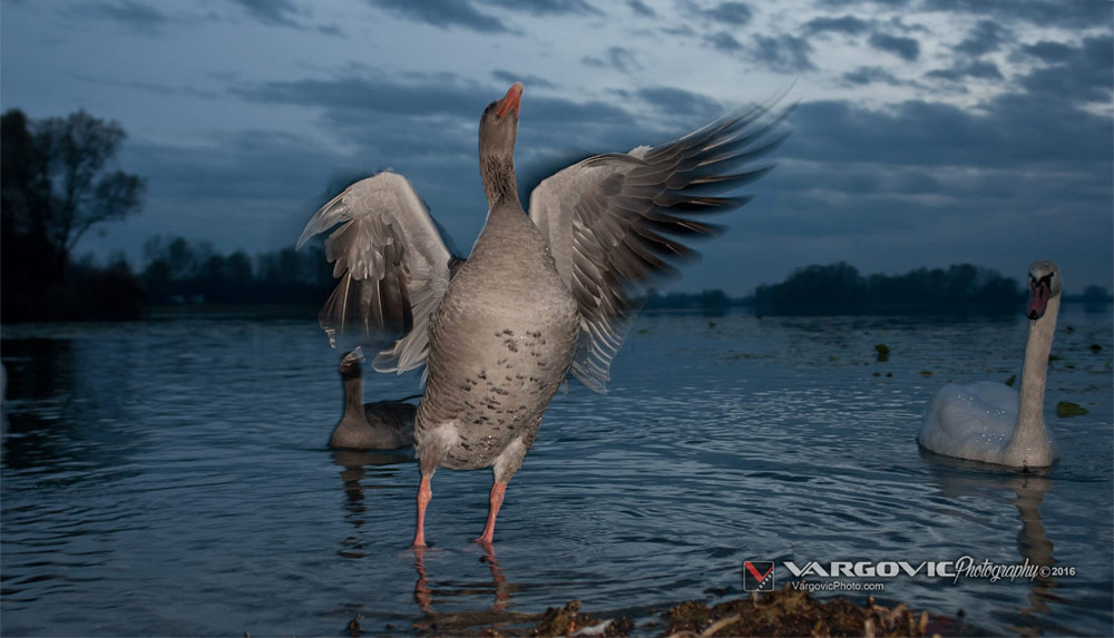 Geese, Ducks, White Swans, Podravina, Croatia, Koprivnica, Labudovi, Šoderica, buy print from Boris Vargovic Photography