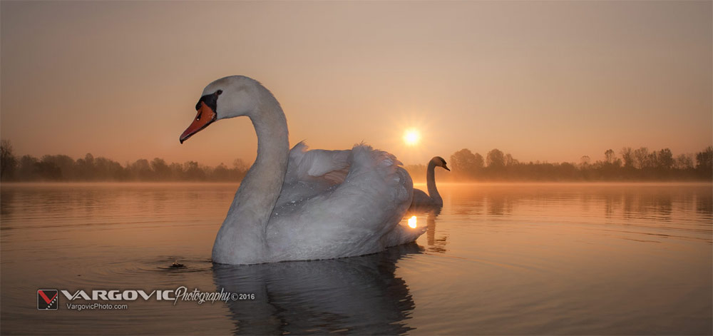 Swans in Fog, Šoderica u Podravini, Swans at Sunrise, White Swans, Swan's Foggy Morning, Podravina, Croatia, Koprivnica, Labudovi, Soderica Lake, Boris Vargovic Fine Photography Artworks
