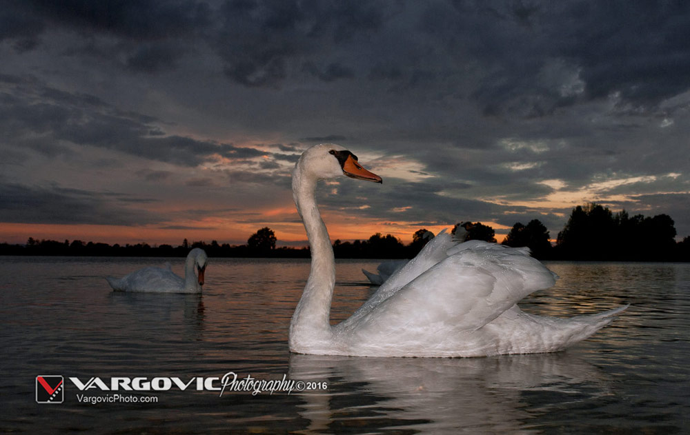 Šoderica u Podravini, Swan and sunset, White Swan, Podravina, Croatia, Koprivnica, Labudovi, Soderica Lake, Boris Vargovic Photography